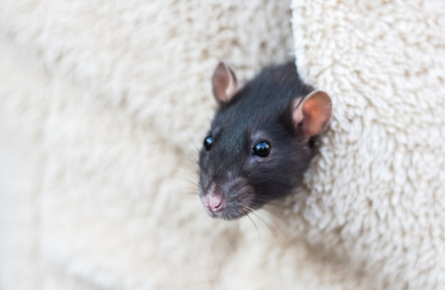 A cabeça de um curioso rato cinza espreita do bolso da roupa feminina com uma cópia do espaço.