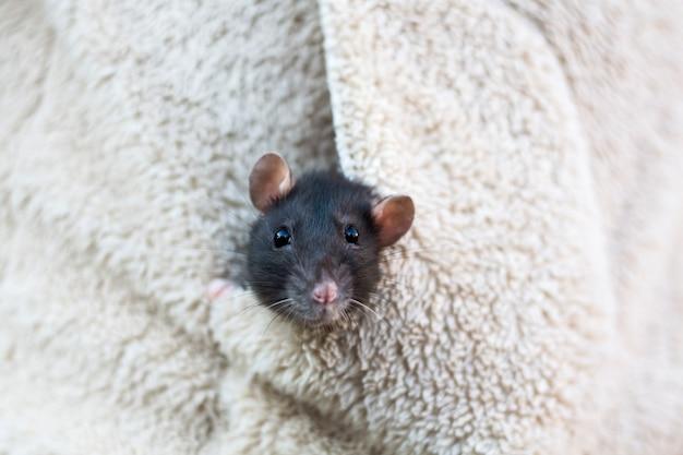 A cabeça de um curioso rato cinza espreita para fora do bolso da roupa feminina.