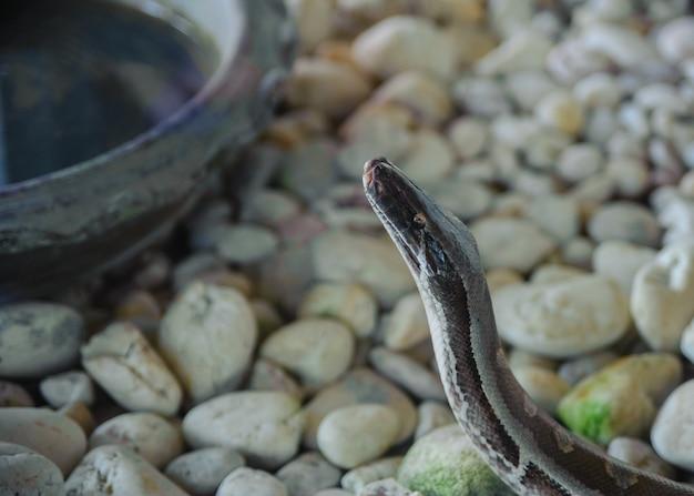 A cabeça de um python. fazenda de cobra na tailândia