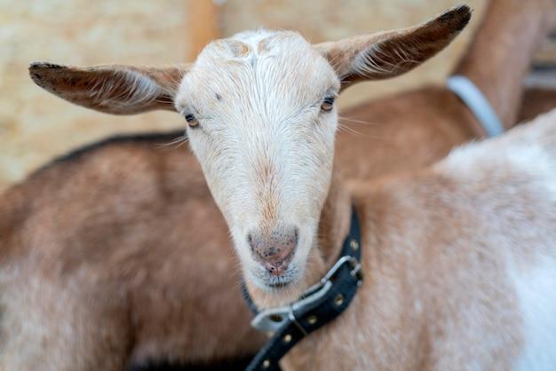 A cabra bonita nova é um animal de estimação na exploração agrícola.