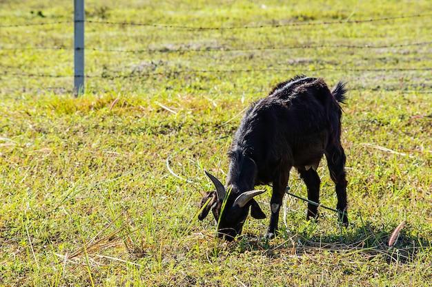 A cabra comendo grama pela manhã.