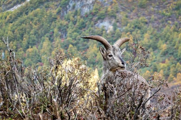 A cabra da montanha cobrindo os arbustos, olhando para a câmera.