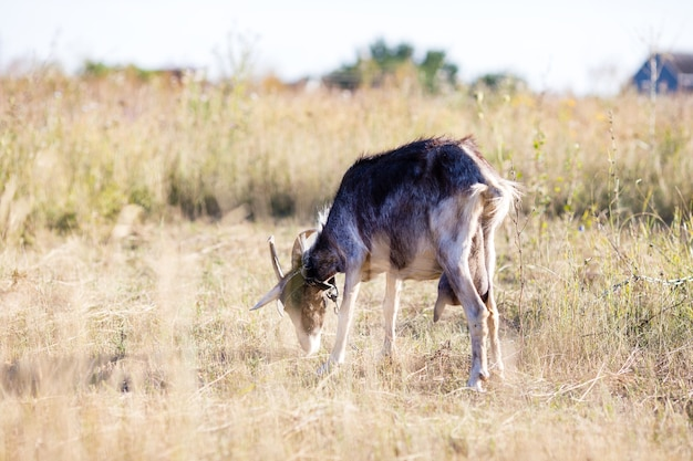 A cabra pasta na aldeia. uma cabra amarrada pastando no gramado. uma cabra pastava no prado.