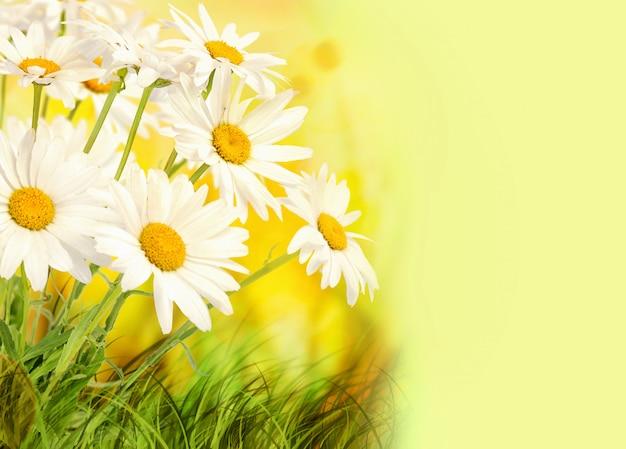 A camomila floresce sobre o fundo colorido do verão com espaço da cópia.