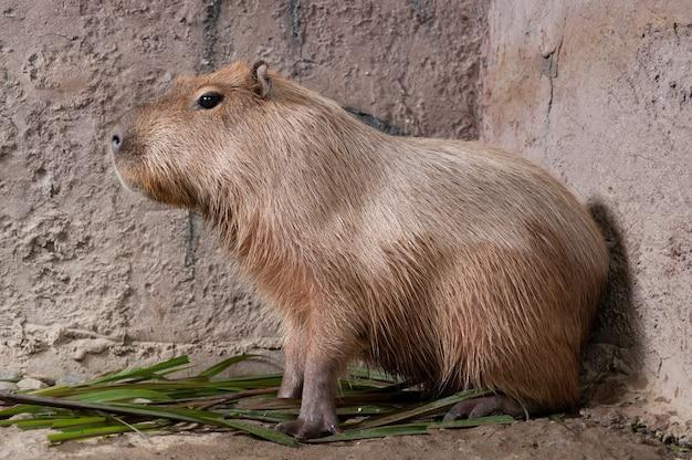 A capivara (hydrochoerus hydrochaeris), o maior roedor vivo do mundo.