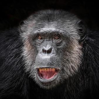 A cara de um chimpanzé em um fundo preto.