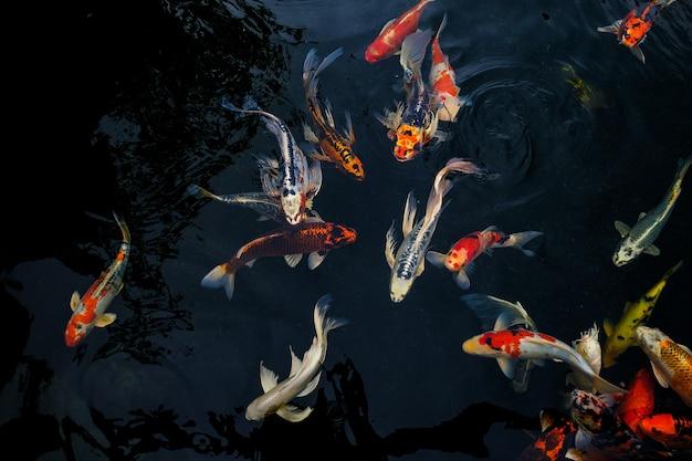 A carpa extravagante que nada na lagoa, carpa extravagante é dourada,