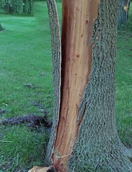 A casca da árvore é separada do tronco e estilhaçada após ser atingida por um raio.