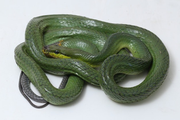 A cascavel verde de cauda vermelha isolada no branco.
