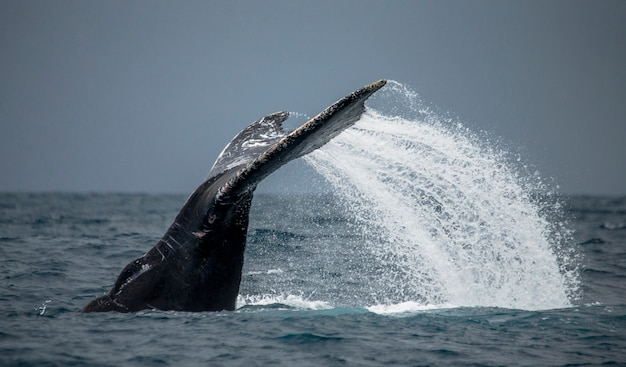 A cauda da baleia-jubarte. madagáscar. ilha de santa maria.