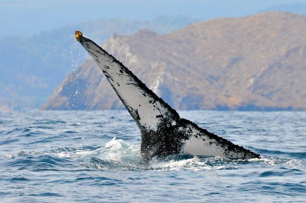 A cauda enorme de uma baleia de corcunda na costa do equador