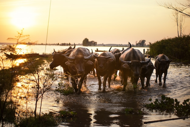 A cena tradicional rural de tailândia, fazendeiro tailandês, tende o rebanho dos búfalos para ir para trás a casa da quinta.