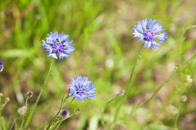 A centáurea azul (centaurea cyanus) floresce em um fundo da luz bonita da noite. flores silvestres cornflower macro, foco seletivo