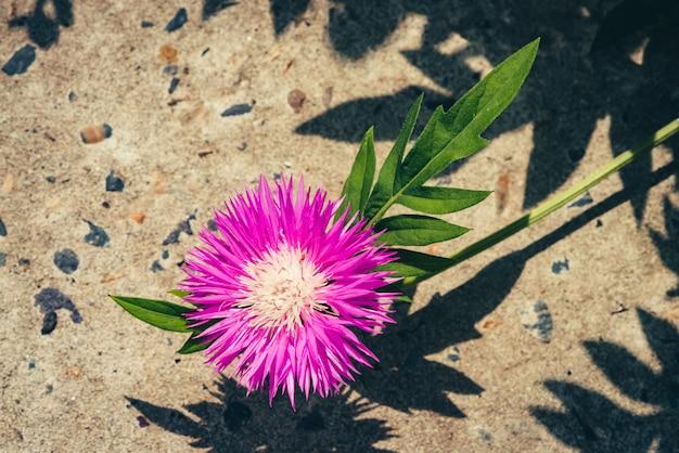 A centáurea cor-de-rosa bonita com as folhas verdes ricas cresce acima da calçada no dia ensolarado