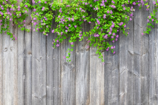 A cerca de madeira cinzenta de brown com as folhas verdes bonitas planta e beira violeta cor-de-rosa das flores com espaço vazio da cópia. texture o fundo das pranchas de madeira velhas com planta de escalada.