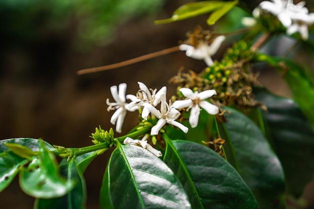 A cereja do café da planta é fonte de grãos de café para criar bebida de café
