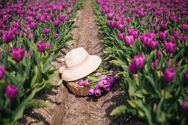A cesta com tulipas e chapéu de palha está na terra nos campos da tulipa.