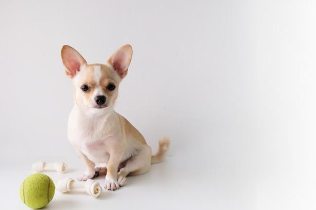 A chihuahua é um açúcar branco, seis meses velho, em um fundo branco.