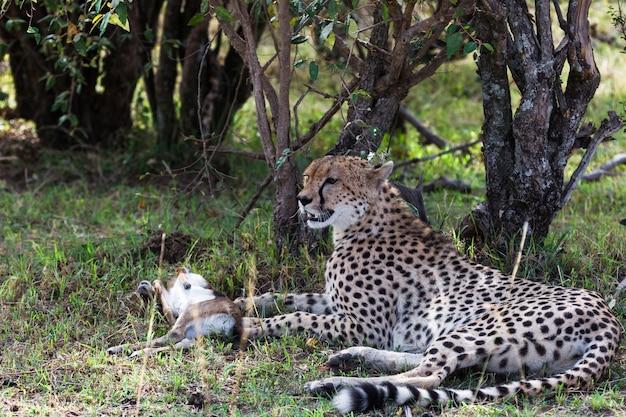 A chita está cansada após a corrida pelo impala descansando no mato quênia áfrica