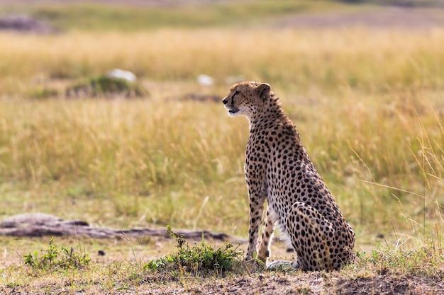 A chita observa a savana do quênia