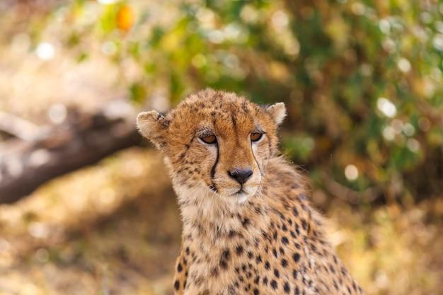 A chita olha para a savana masai mara quênia