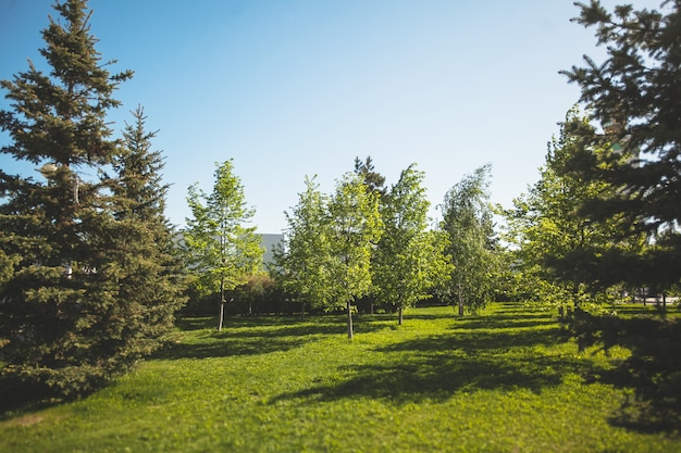 A clareira é coberta com grama contra o pano de fundo de várias árvores coníferas e céu no parque da cidade em um dia de verão.