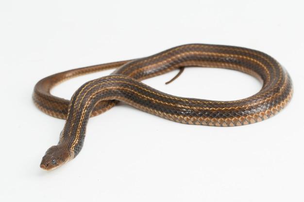 A cobra d'água asiática piscator fowlea keelback quadriculada isolada no fundo branco