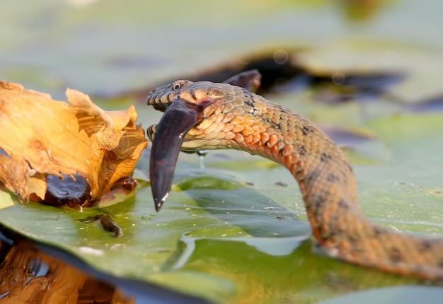 A cobra de dados (natrix tessellata) pegou um peixe