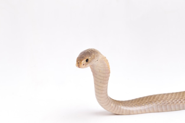 A cobra de javan cuspindo no espaço em branco