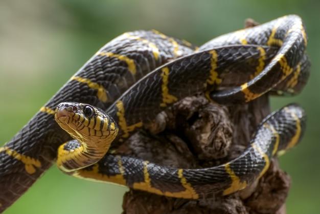 A cobra-gato com anel de ouro enrolada em uma árvore e pronta para atacar