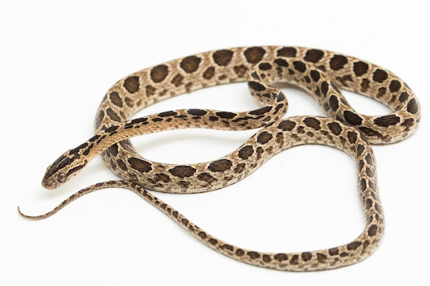 A cobra gato malhado boiga multomaculata isolada no fundo branco