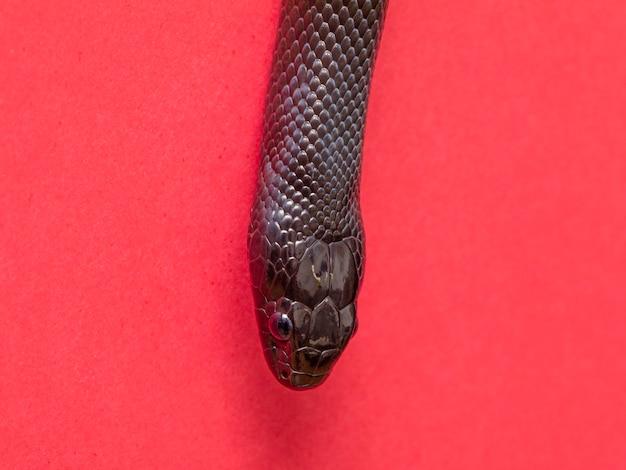 A cobra negra mexicana (lampropeltis getula nigrita) faz parte da família colubrid maior de cobras e é uma subespécie da cobra comum.