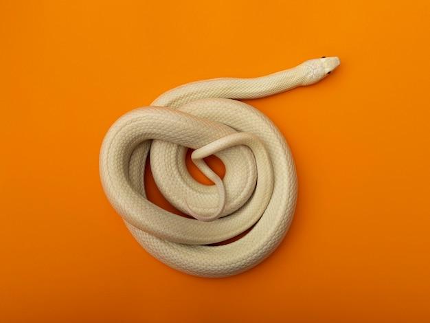 A cobra rato do texas (elaphe obsoleta lindheimeri) é uma subespécie da cobra rato