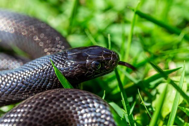 A cobra-rei preta mexicana (lampropeltis getula nigrita) faz parte da família maior de cobras colubrídeos e uma subespécie da cobra-rei comum