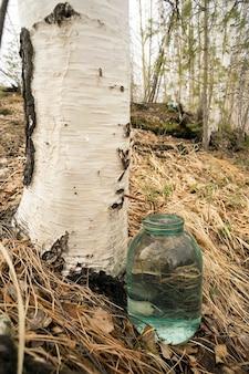 A coleção de seiva de bétula na floresta.