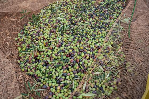 A colheita sazonal de azeitonas em apúlia, sul da itália