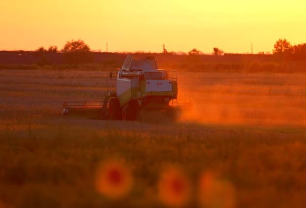 A colheitadeira colhe girassóis sob os raios do sol poente. os tons vermelhos da foto adicionam drama e misticismo