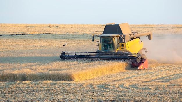 A colheitadeira está colhendo trigo no campo