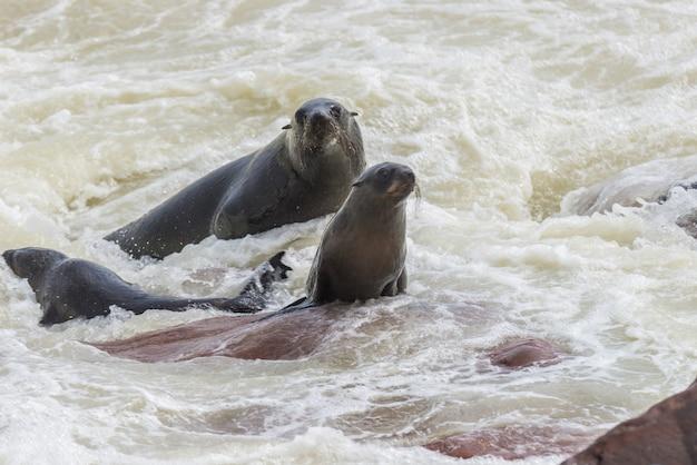 A colônia de focas na cape cross, na costa atlântica da namíbia, áfrica. vista na linha costeira e no oceano de ondulação áspero.