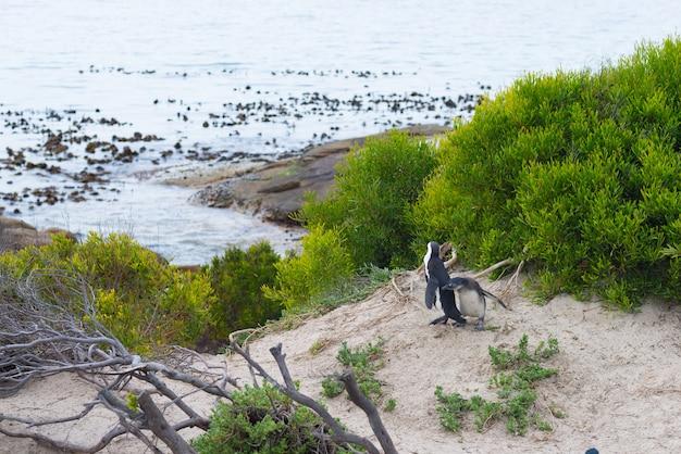 A colônia de pinguins africanos na península do cabo em boulders beach