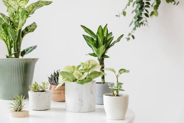 A composição elegante e botânica do jardim interior de casa encheu um monte de plantas em design diferente, vasos elegantes na mesa branca. verde é melhor. flor da primavera.
