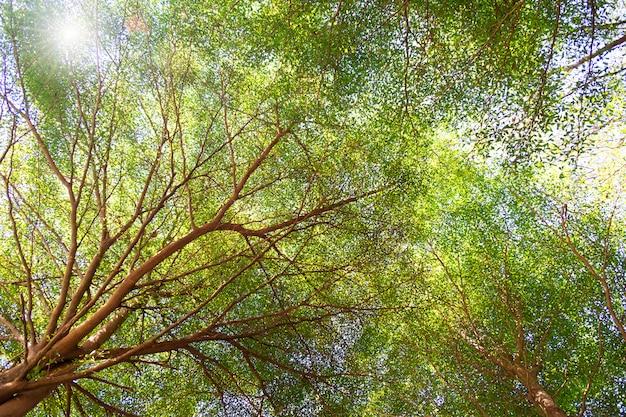 A copa das árvores verde e ramo de vegetação em uma floresta limpando com a luz solar