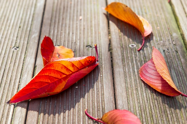 A cor do inclinação do outono sae no assoalho de madeira. imagem com foco seletivo e fim acima da vista.