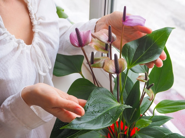 A criação de plantas de interior. jardineiro feminino mantém flor antúrio.