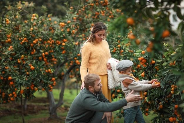A criança ajuda o pai a colher tangerinas no final do outono