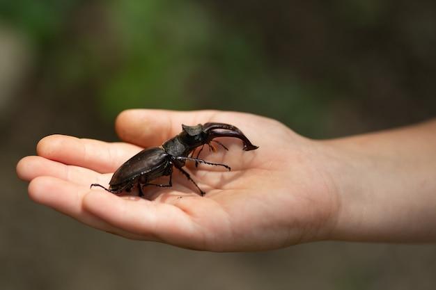 A criança está segurando na palma da mão um besouro-veado