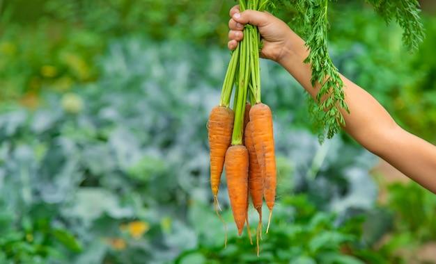 A criança segura a cenoura nas mãos no jardim. foco seletivo. natureza.