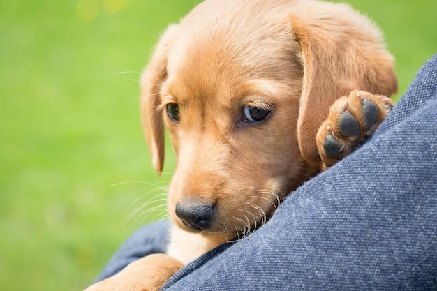 A criança segura nas mãos um pequeno cão da raça cocker spaniel_