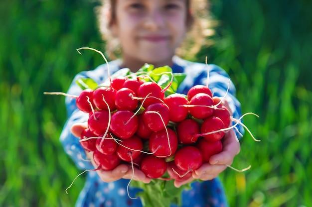 A criança segura o rabanete da horta em suas mãos