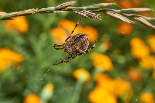 A cruz de aranha (lat. araneus) repara as teias de aranha rasgadas pelo vento forte.